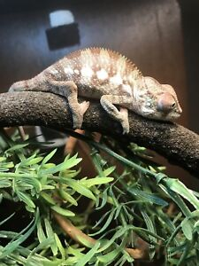 Only 1 male left. Baby Panther chameleon