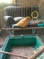 Male canary great condition