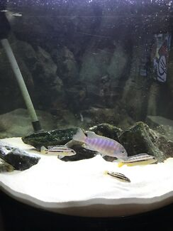 Selling African cichlids+ food and rocks