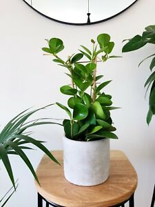 Hoya Australis Indoor Plant For Sale Plants Gumtree Australia