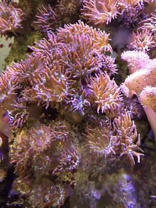 Bubble Anemone for salt water aquarium!!
