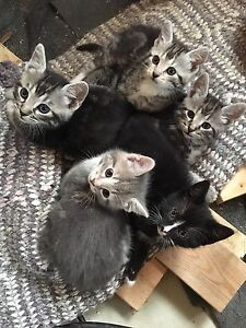 Kittens for sale 7 1/2 weeks old to loving homes