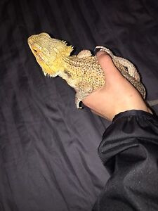 Free bearded dragon! To a good home