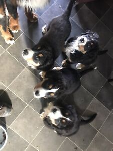 Bernese mountain dogs *only 3 left*