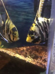Breeding pair of Angle fish for sale