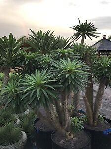Madagasgar palm Pachypodium Lamerii Berry Shoalhaven Area Preview