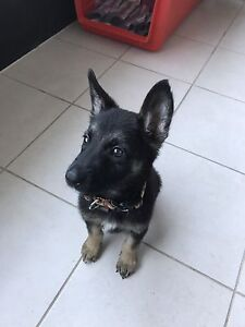 Pure breed German shepherd puppy Carlton Melbourne City Preview