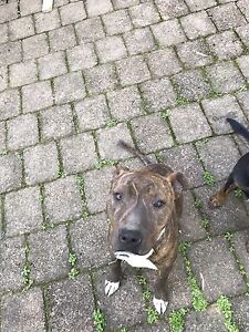 Kellpie X and an American Staffy Jewells Lake Macquarie Area Preview
