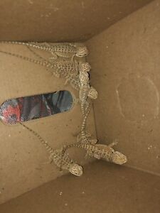 BABY BEARDED DRAGONS FOR SALE! (ONLY 5 LEFT!!!!)