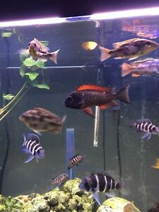 Red flame tropheus