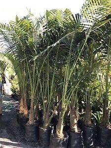 Kentia palms Howea Fosteriana 45L Berry Shoalhaven Area Preview
