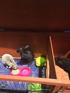 3 Rabbits WITH hutch Gordon Tuggeranong Preview