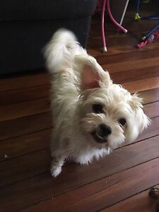 Looking for male maltese Ipswich Ipswich City Preview
