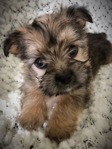 Adorable Shorkie Puppy!!!