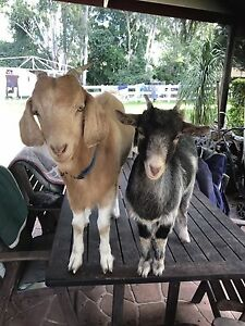 Pet goat couple Dyers Crossing Greater Taree Area Preview