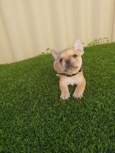 Registered French Bulldog Puppies Ready this weekend