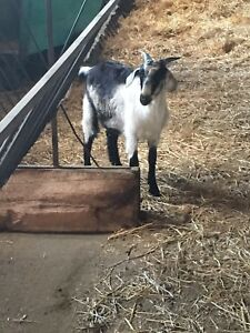GOATS FOR SALE: Doelings