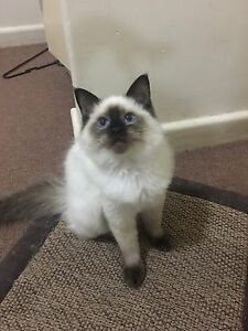 Pure breed Ragdoll Kittens for Sale Carnegie Glen Eira Area Preview