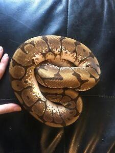 Calider (calico spider) ball python