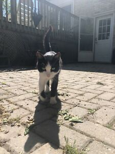Found cat in Thorndale