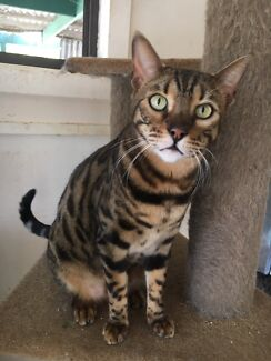 Bengal cattery closing down