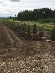 Looking to swap 5-7 foot White Spruce Trees for Quad or Side by