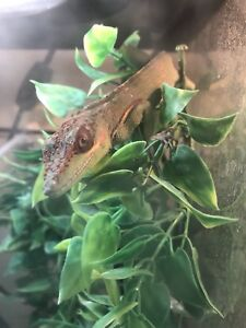 Cuban Knight Anole and Full Setup