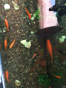 Assorted 5 comet goldfish for sale