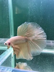 Golden half-moon betta Ascot Brisbane North East Preview