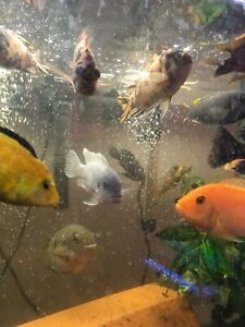 Adult cichlids