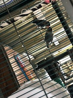 Budgies and love birds for sale