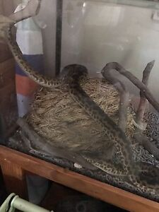 Python for sale Mount Hallen Somerset Area Preview