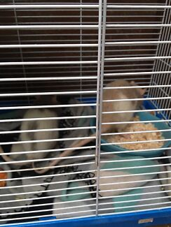 RAT & MOUSE BOARDING