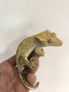 Colorful, crested gecko with unique white laterals