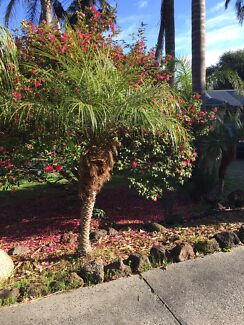 Wanted: Palm Trees for sale