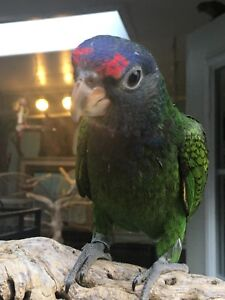 Baby male blue headed parrot