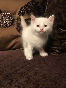 Flame point Siamese kitten