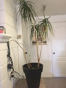 Two Tall house plants