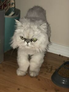 Looking to rehome two Persian cats URGENT