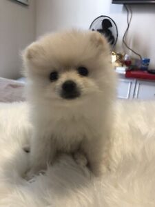 Pomeranian | Adopt Dogs & Puppies Locally in Ontario