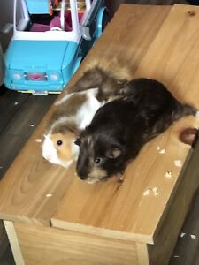 Male and Female Guinea Pigs for SALE (includes accessories)