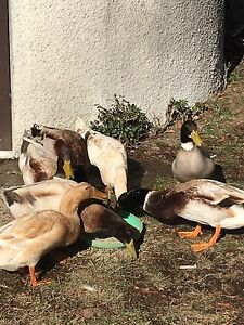 Indian runner ducks Sutton Gungahlin Area Preview