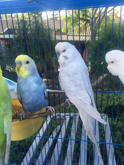 Grey Dilute English Budgie