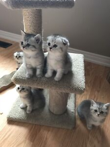 Silver shaded Scottish straight kitten for sale