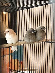 Various finches for sale