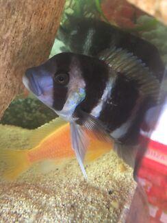 Frontosa Burundi cichlid for sale