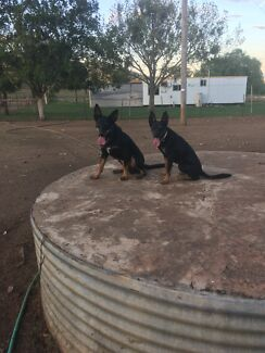 2 x pure working kelpies 8 months old