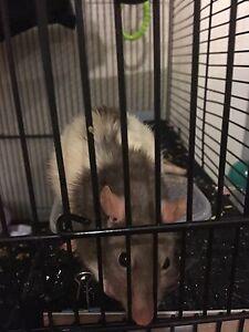 SINGLE FEMALE RAT Salisbury East Salisbury Area Preview