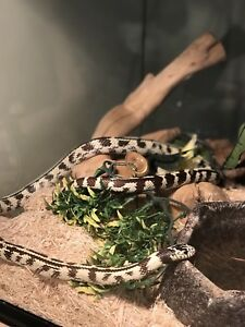 California kingsnake with terrarium