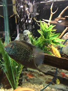 Severum looking for